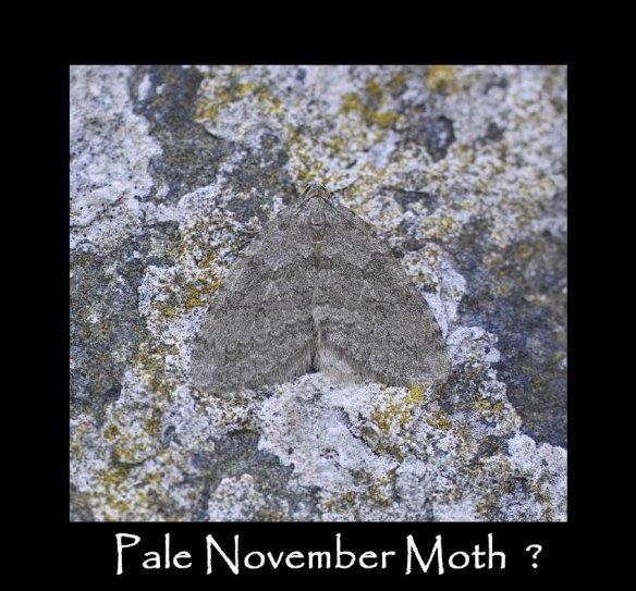 M Pale November Moth
