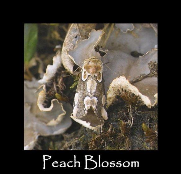 M Peach Blossom 2