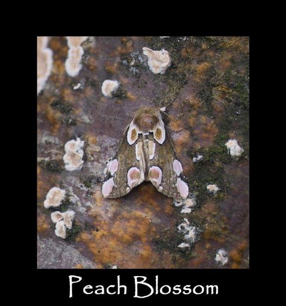 M Peach Blossom