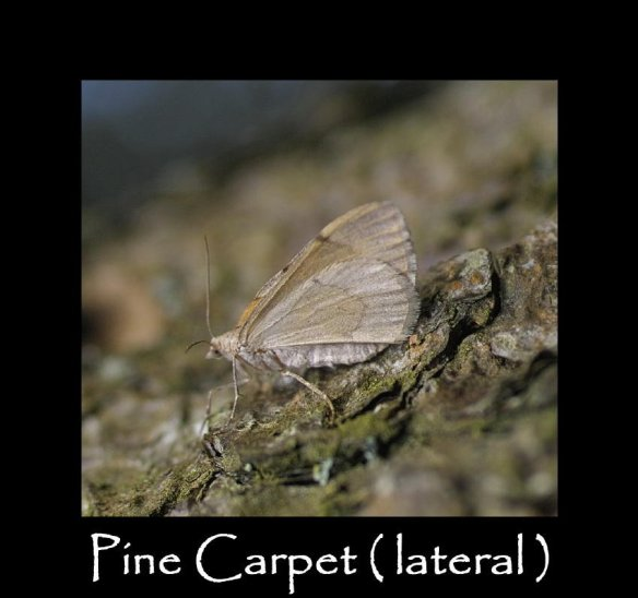 M Pine Carpet ( lateral )
