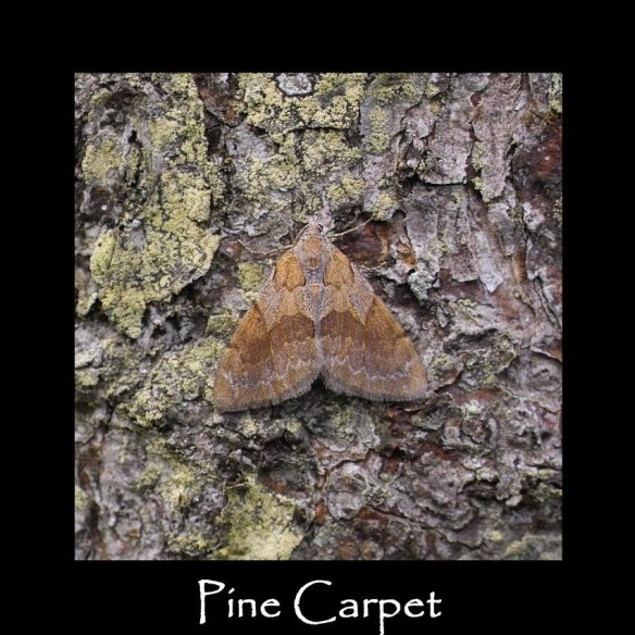 M Pine Carpet
