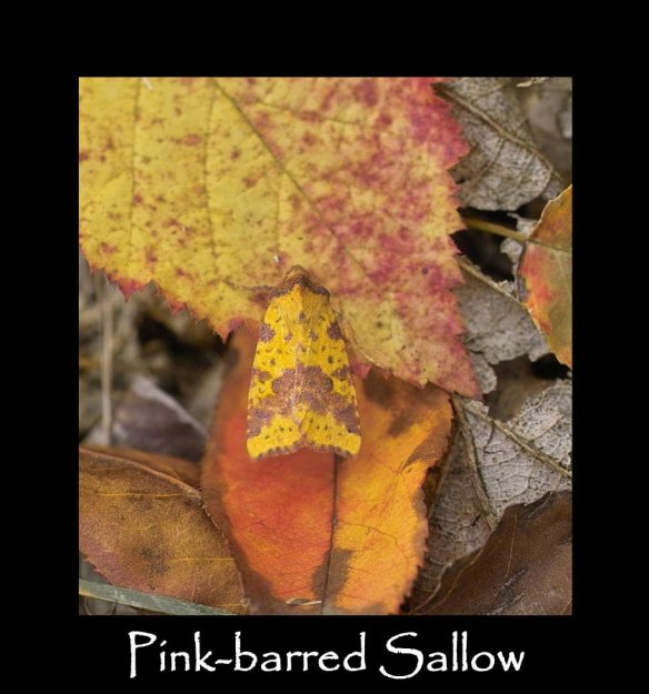 M Pink-barred Sallow (2)