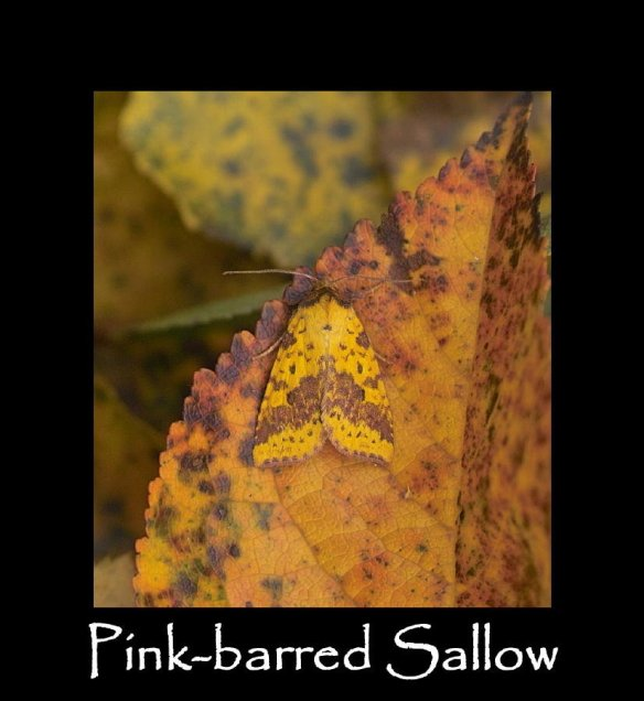 M Pink-barred Sallow