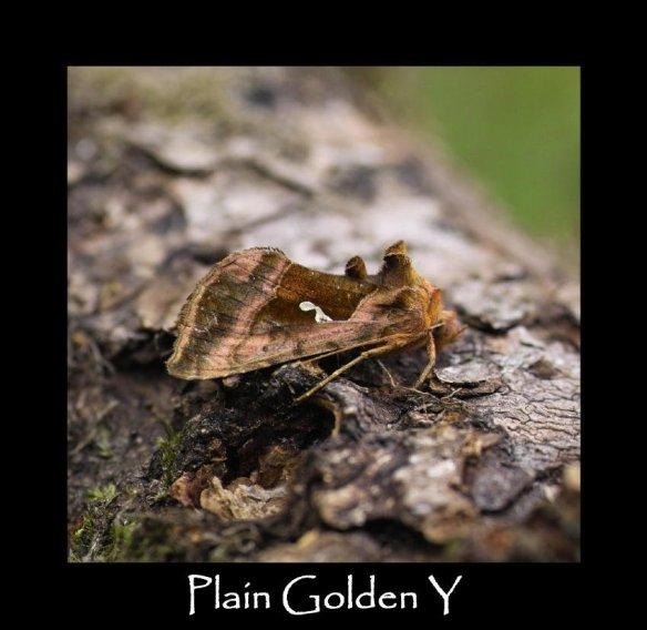 M Plain Golden Y