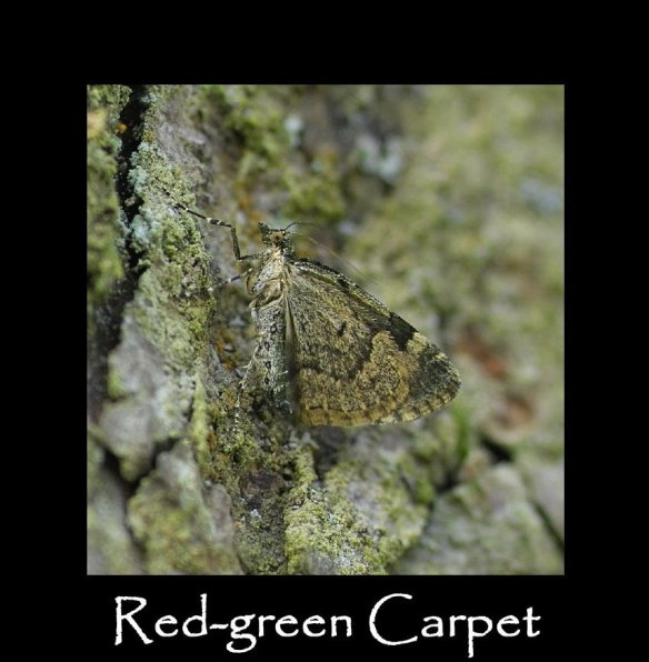 M Red-green Carpet ( lateral )