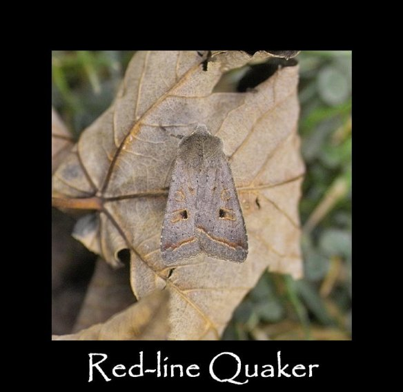 M Red-line Quaker