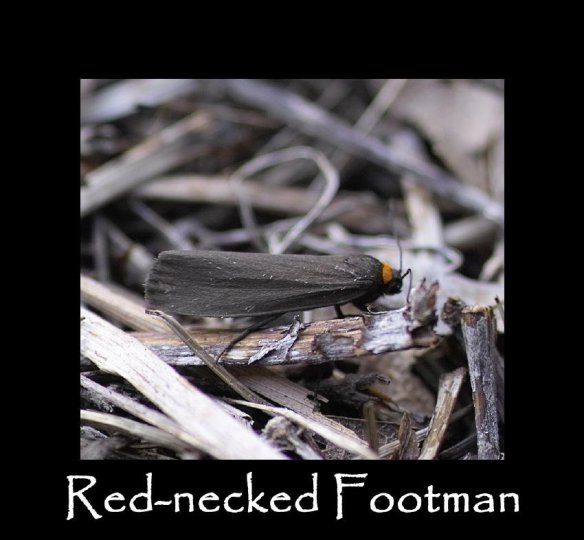 M Red-necked Footman