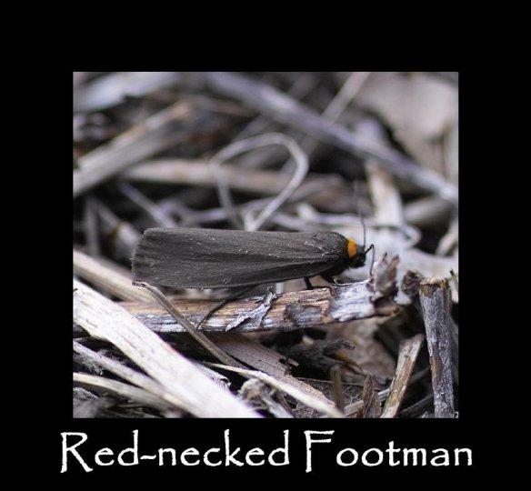 M Red-necked Footman