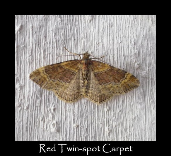 M Red Twin-spot Carpet (2)