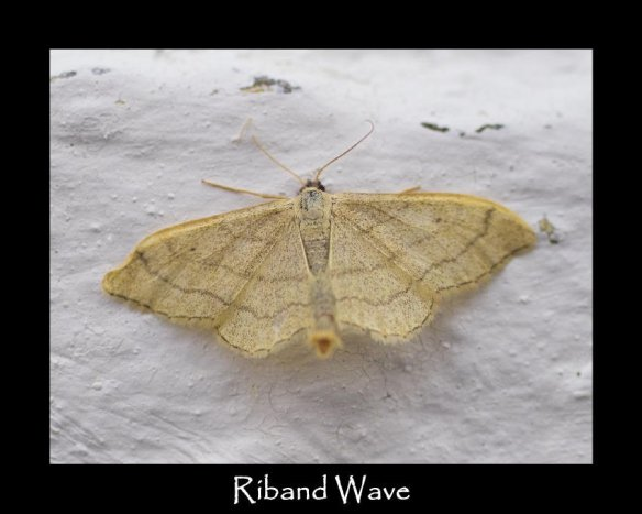 M Riband Wave (2)