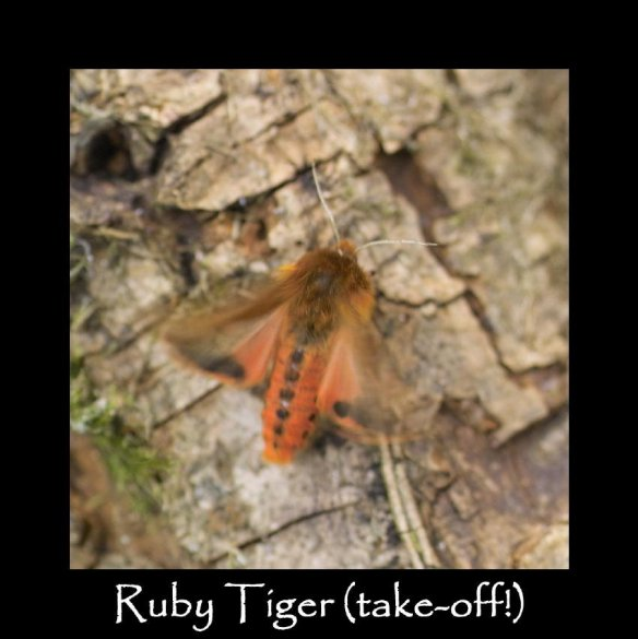 M Ruby Tiger (take off)