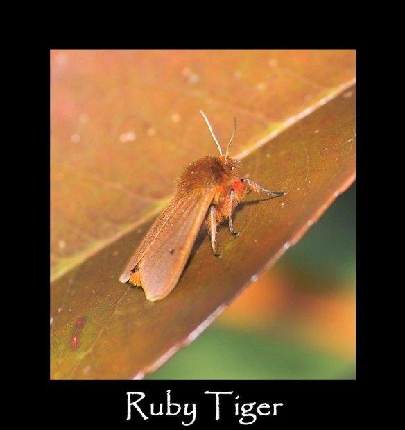 M Ruby Tiger