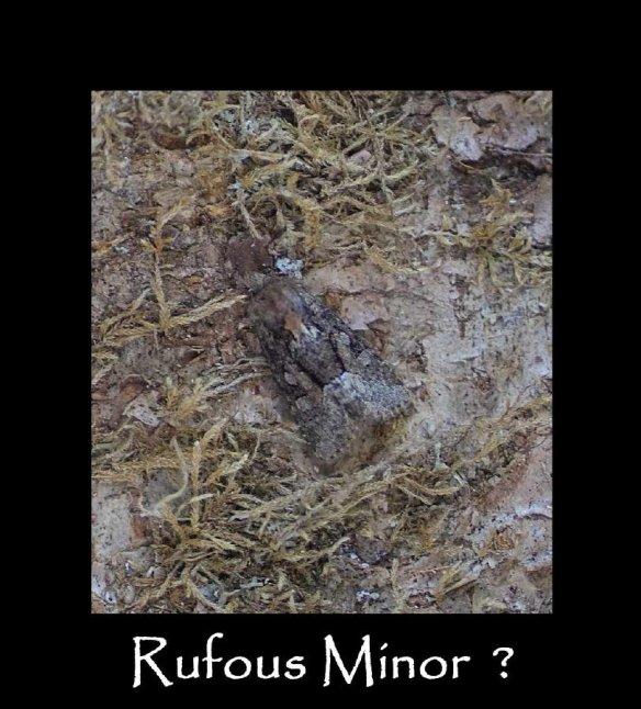 M Rufous Minor