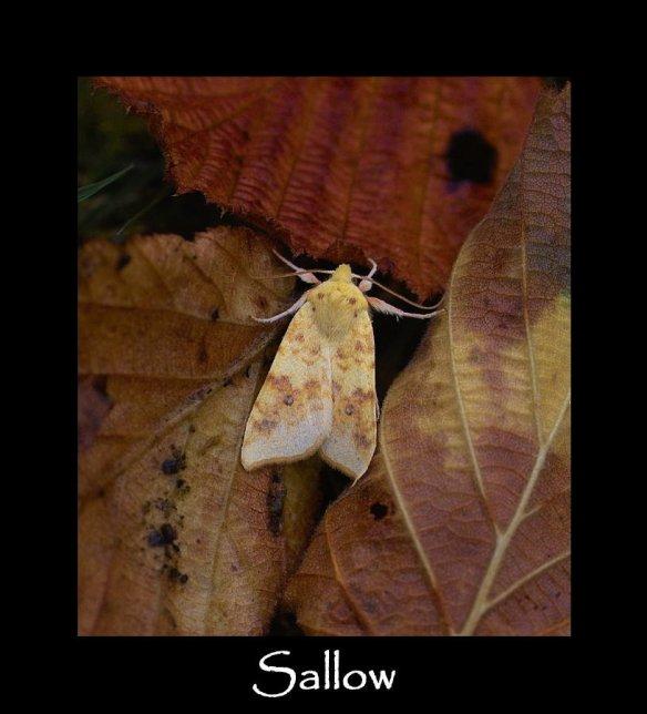 M Sallow 2 (2)
