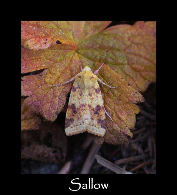 M Sallow (2)