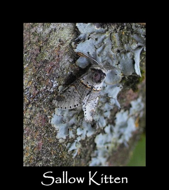 M Sallow Kitten (2)