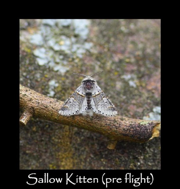 M Sallow Kitten (pre flight) (2)