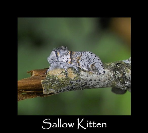 M Sallow Kitten
