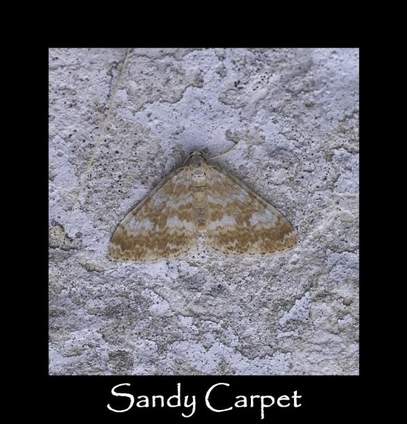 M Sandy Carpet