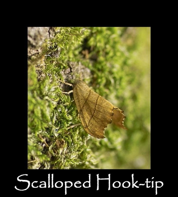 M Scalloped Hook-tip (2)