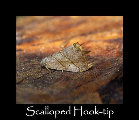 M Scalloped Hook-tip