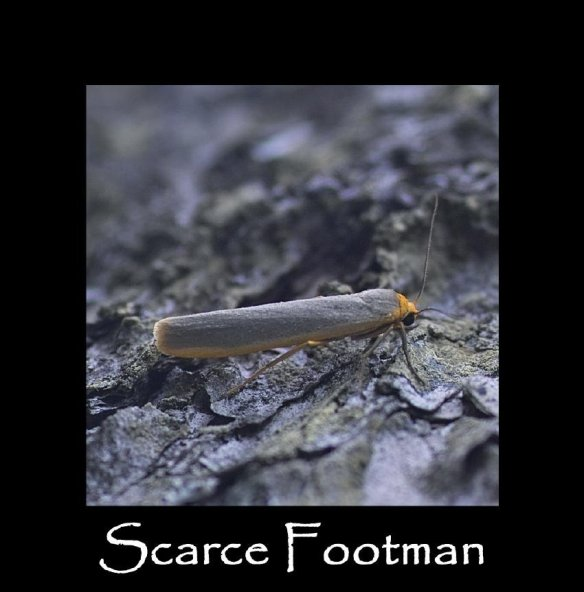 M Scarce Footman ( 2 )