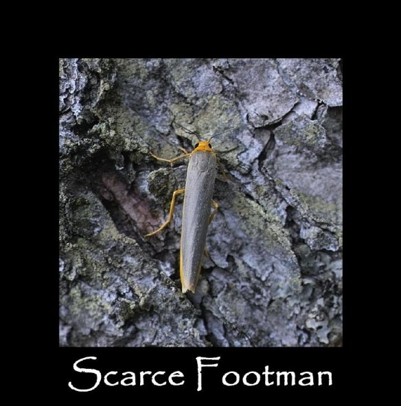 M Scarce Footman