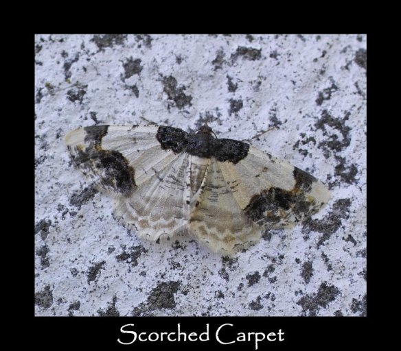 M Scorched Carpet