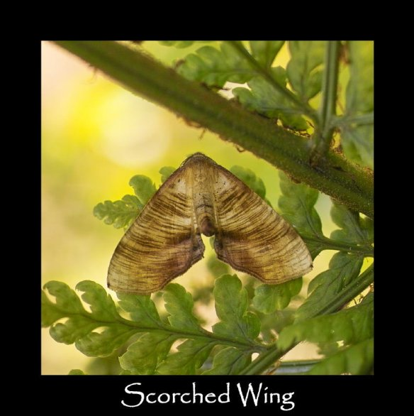 M Scorched Wing