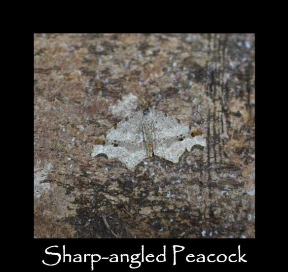 M Sharp-angled Peacock (2)