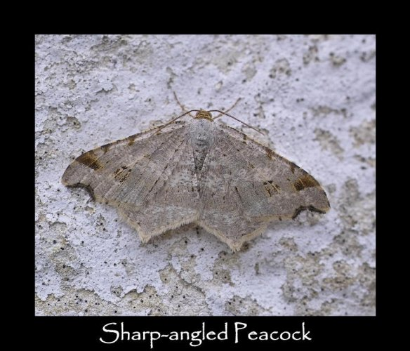 M Sharp-angled Peacock