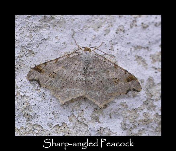 M Sharp-angled Peacock