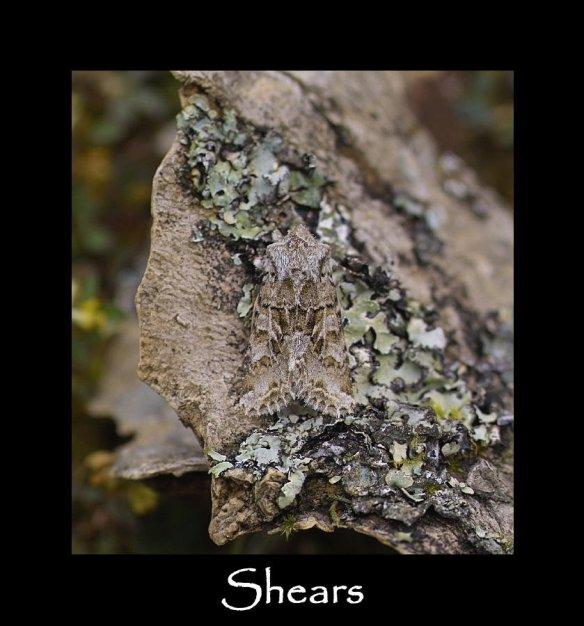 M Shears