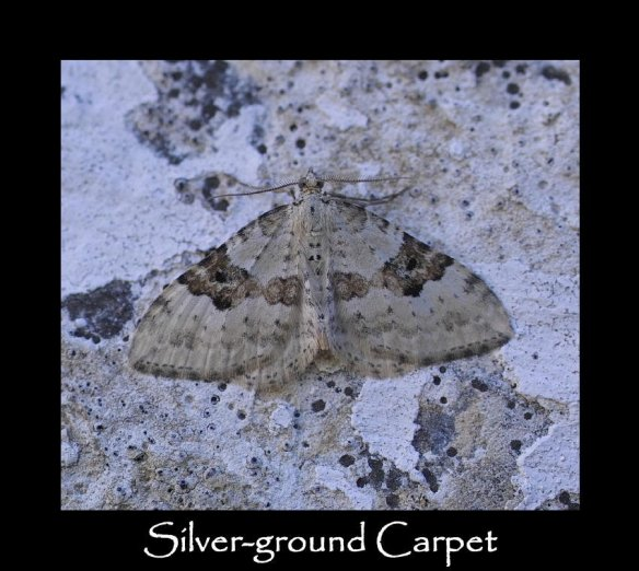 M Silver-ground Carpet