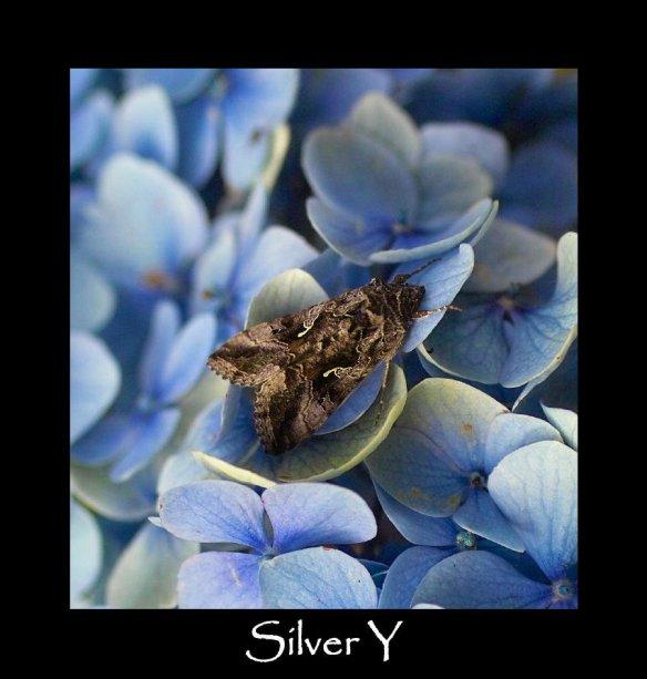 M Silver Y (2)