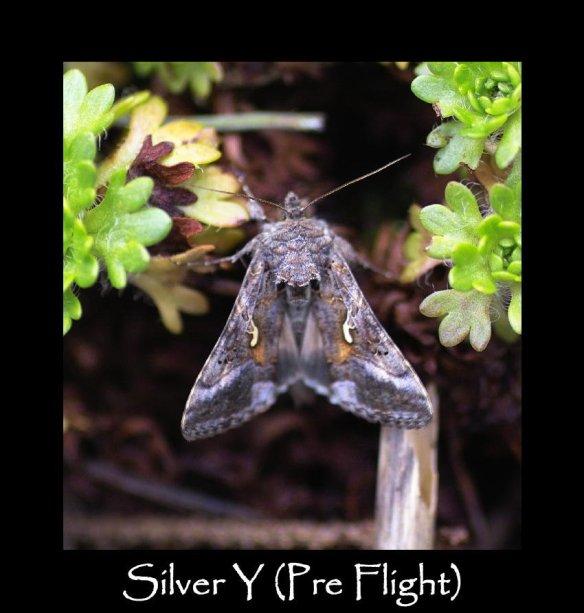M Silver Y (pre flight) (2)