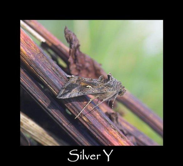 M Silver Y