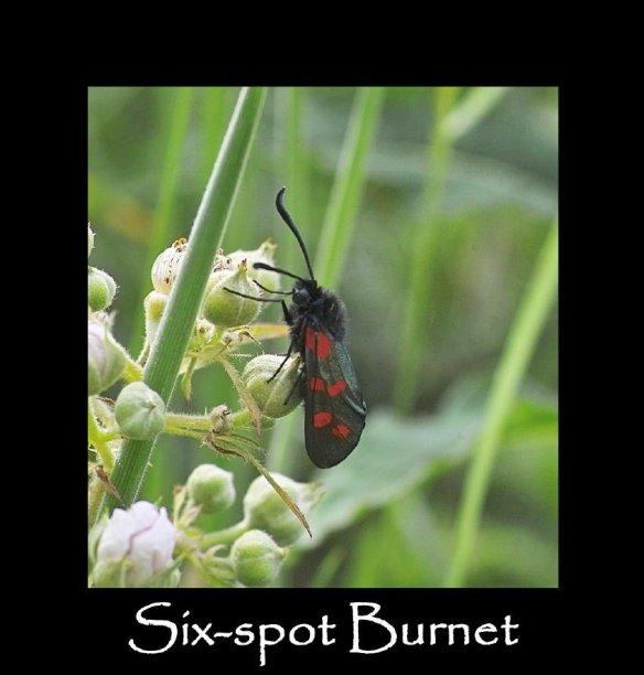 M Six-spot Burnet 2