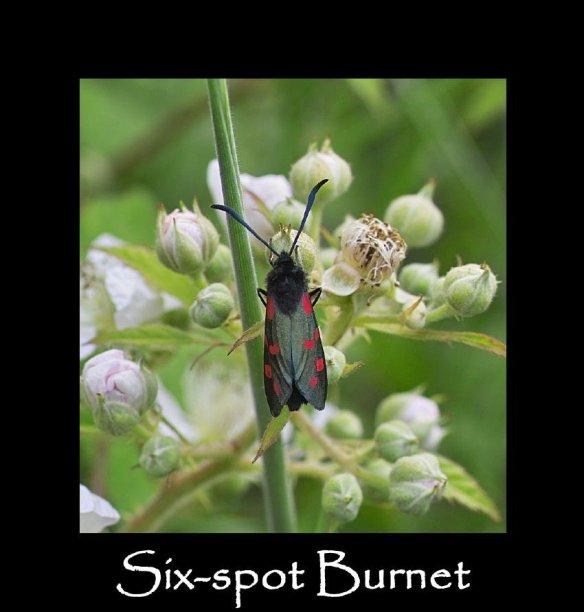 M Six-spot Burnet