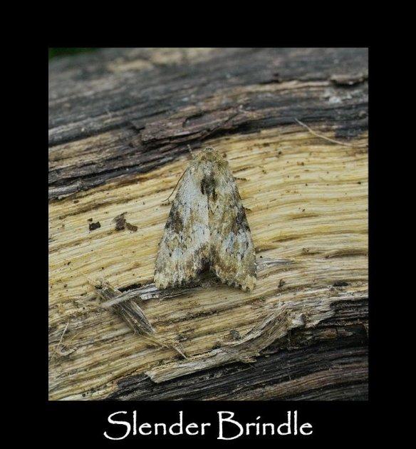M Slender Brindle (2)