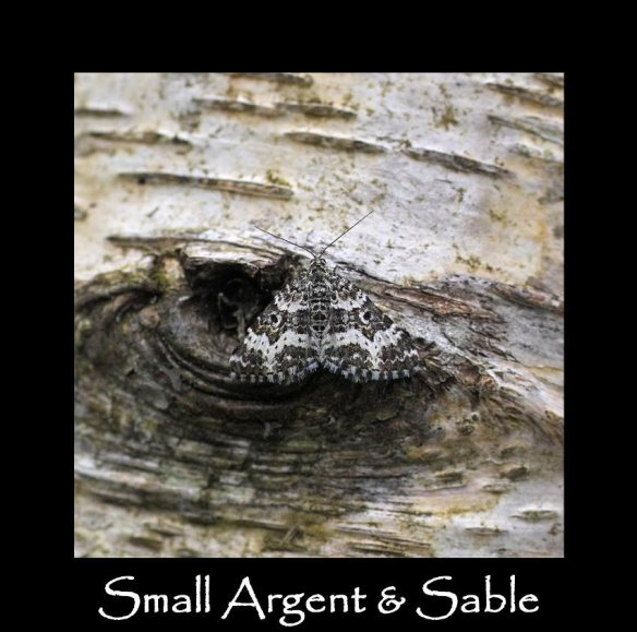 M Small Argent & Sable