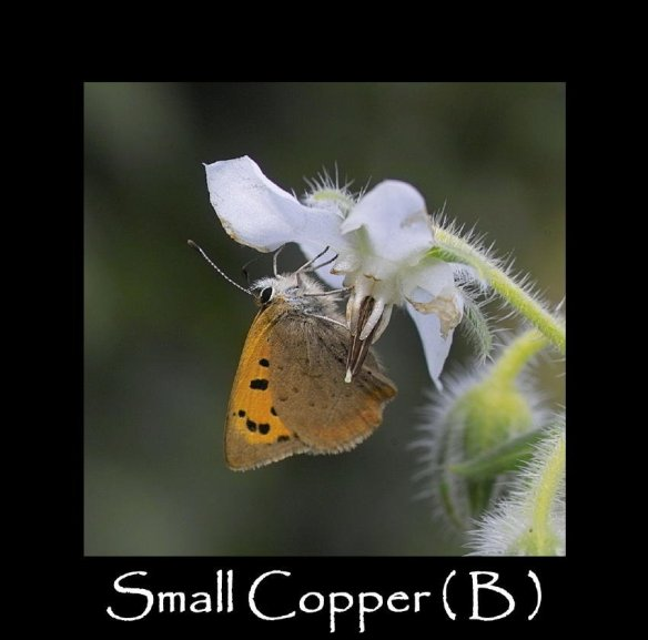 M Small Copper ( B ) 2