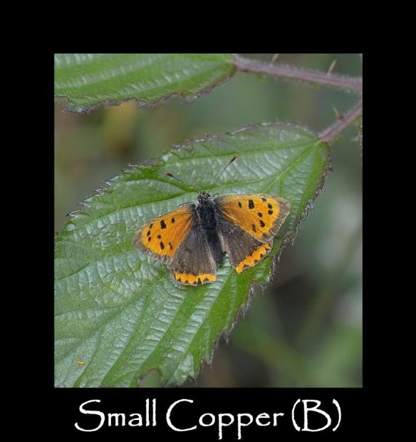 M Small Copper (B)