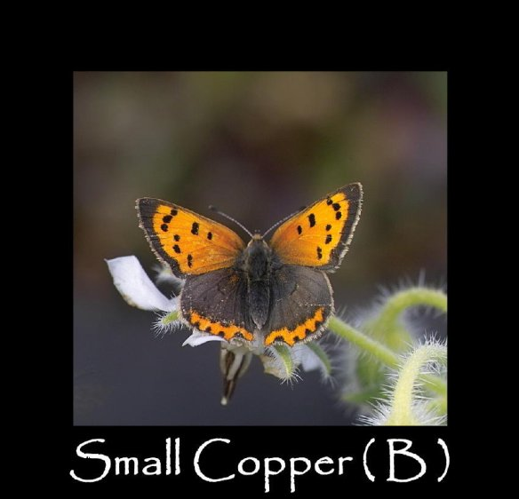 M Small Copper ( B )