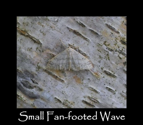 M Small Fan-footed Wave (2)