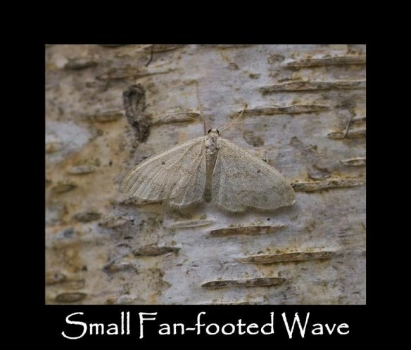 M Small Fan-footed Wave (3) (2)