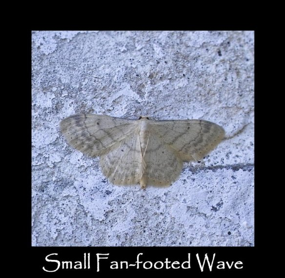 M Small Fan-footed Wave