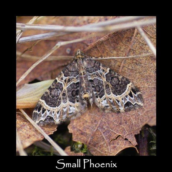 M Small Phoenix (2)