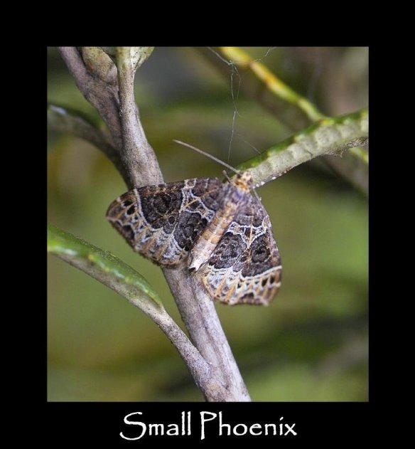 M Small Phoenix