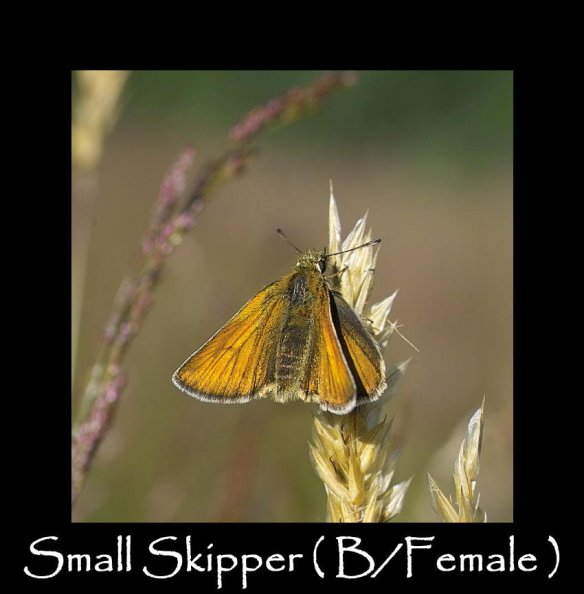 M Small Skipper ( B Female )